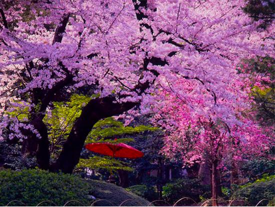 八芳園では河津桜や吉野桜など、様々な桜をお楽しみいただけます