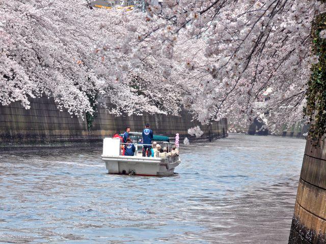 都内最大級の桜回廊!「目黒川桜回廊クルーズ」で「水上の特等席」よりお花見をお楽しみください!