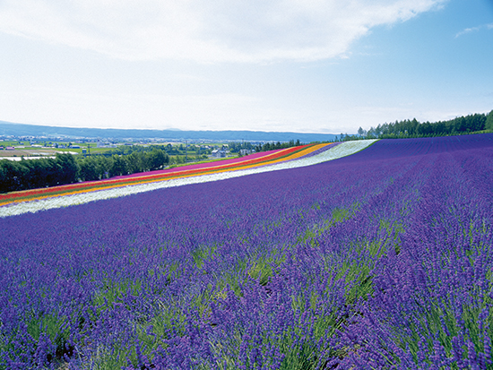 In the park there are souvenir shops and museums using dry flowers, lavender fields of Hokkaido