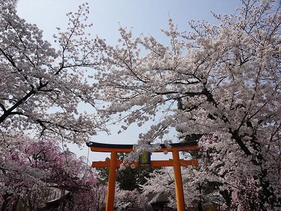 <XP>桜の名所、平野神社と哲学の道散策/京都定期観光バス