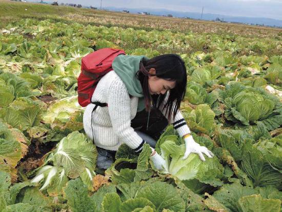 白菜収穫体験