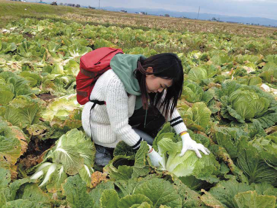 Chinese cabbage harvest experience