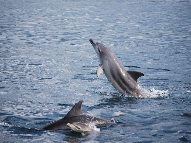 野生のイルカのジャンプは、珍しいです。