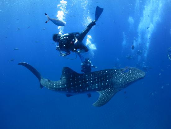 大迫力のジンベエザメと泳ぐツアー(体験ダイビング)