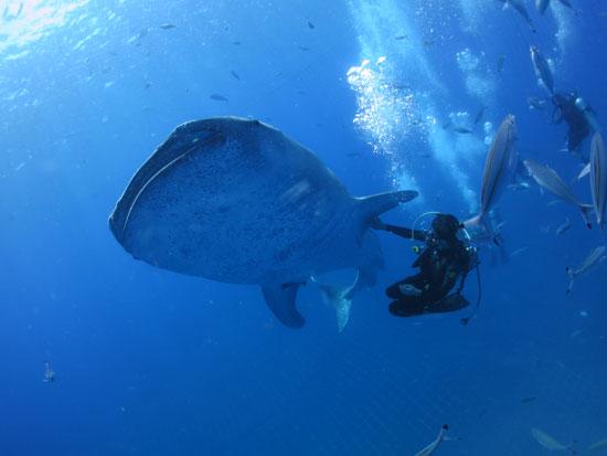 大迫力のジンベエザメと泳ぐツアー(FUNダイビング【要ライセンス】)