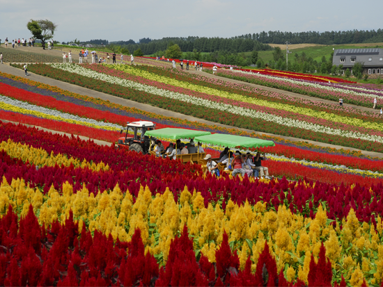 北海道らしい広大な丘陵風景で有名な美瑛地区までの観光スポットをめぐる人気ナンバー1のコース「ファーム富田」や「四季彩の丘」の 他、季節ごとにさまざまな花々がご覧いただけます。