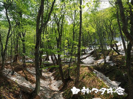ゴールデンウイーク明けのブナ林です。気温も少し暖かくなってきて、残雪と新緑のコラボが一度に楽しめる可能性も♪